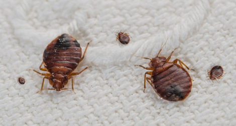 The-Impact-Of-Bed-Bugs