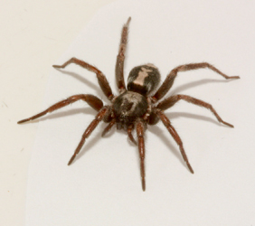 Spider-in-basement-Ontario-Large