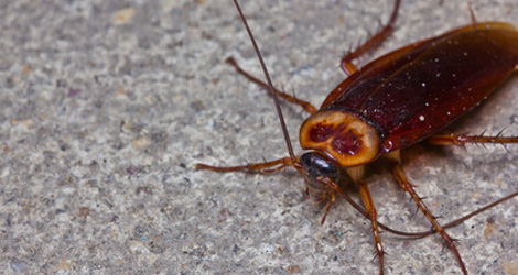 4 Ways Cockroaches Can Ruin Your Health & Hygiene